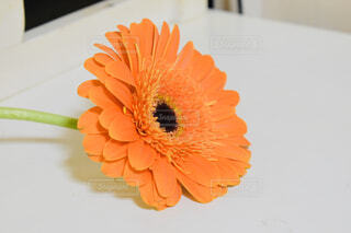 オレンジが綺麗なガーベラの写真・画像素材[2817725]