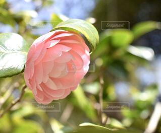 花のクロピンクが可愛い山茶花の写真・画像素材[3039682]