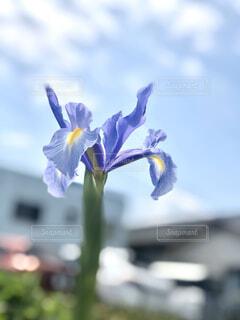 紫色が綺麗な花菖蒲の写真・画像素材[3058415]
