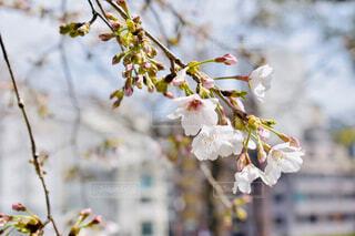 街並みと桜の写真・画像素材[3060806]