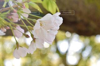 木漏れ日の中の桜の写真・画像素材[3060808]