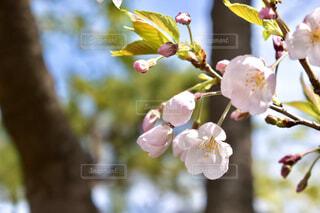 桜の花の写真・画像素材[3060809]