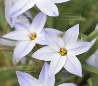 紫が綺麗なハナニラの写真・画像素材[3060920]