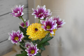 可愛い菊の花の写真・画像素材[3077920]
