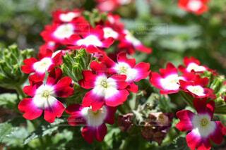 可愛い花手毬の写真・画像素材[3119942]