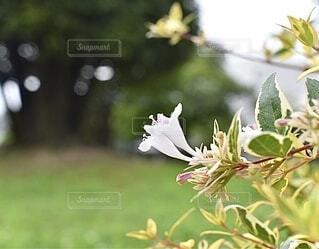 可愛いアベリアの写真・画像素材[3388820]