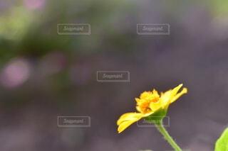 メランポデュウムの写真・画像素材[3886156]