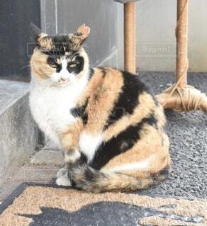 可愛い三毛猫の写真・画像素材[4166460]