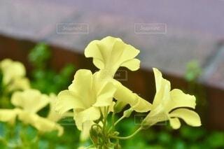 黄色のオキザリスの写真・画像素材[4179830]