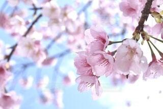 青空と桜の花の写真・画像素材[4217325]