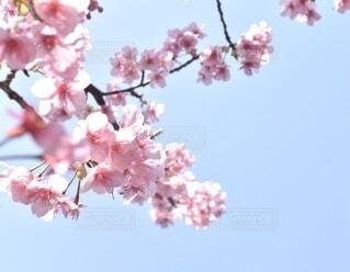 青空と桜の花の写真・画像素材[4217341]