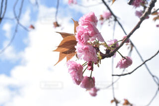 青空と八重桜の写真・画像素材[4321061]