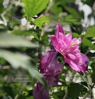 ピンクが綺麗なムクゲの写真・画像素材[4590701]