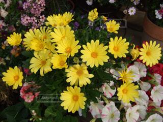 黄色い花のアップの写真・画像素材[1664435]
