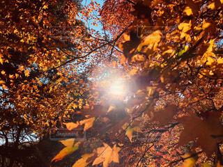 晴れの日の紅葉の写真・画像素材[1659728]