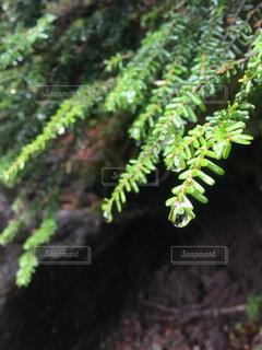 山道の葉のしずくの写真・画像素材[1659105]