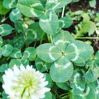 四つ葉のクローバーとシロツメクサの花の写真・画像素材[1659125]