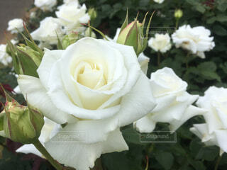 白い薔薇と蕾の写真・画像素材[1659237]