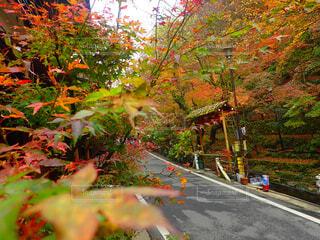 紅葉に染まる並木道の写真・画像素材[1659970]
