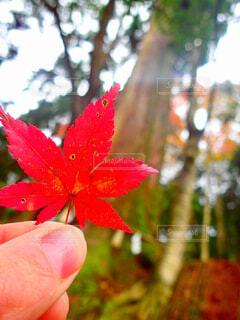 御神木と紅葉🍁の写真・画像素材[1659972]