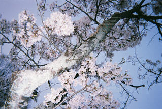 桜の木の写真・画像素材[1664840]