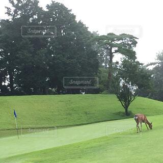 ゴルフ場に現れた鹿。の写真・画像素材[1729970]