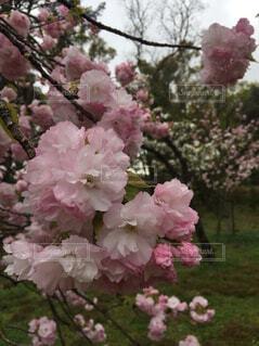 桜の花がとても綺麗でしたの写真・画像素材[1758224]