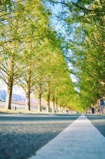 メタセコイア並木の写真・画像素材[4123978]