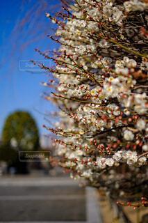 お寺に咲く梅の花の写真・画像素材[1783139]