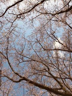 桜の木の写真・画像素材[1671513]
