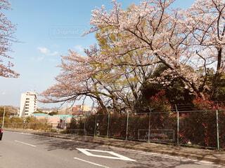 住宅地に咲きはじめた桜の写真・画像素材[1671520]