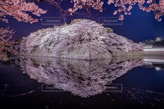 彦根城・夜桜の写真・画像素材[1691037]