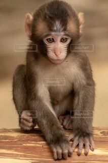 子猿の写真・画像素材[1669997]