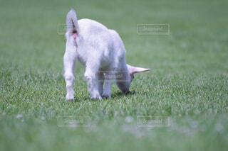 子ヤギの後ろ姿の写真・画像素材[1670020]