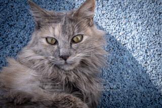 野良猫の写真・画像素材[1730360]