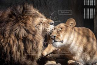 ライオンのカップルの写真・画像素材[1831608]