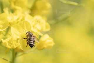 菜の花とミツバチの写真・画像素材[1831680]