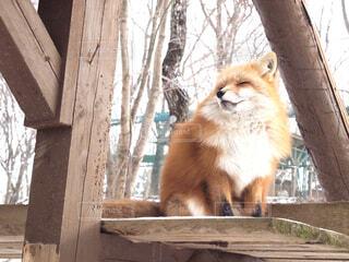木製のフェンスの上に座っているキツネの写真・画像素材[2509064]