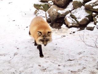 雪の中を歩くキツネの写真・画像素材[2509066]