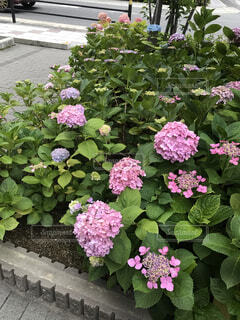 大きな紫色の花が庭にあるの写真・画像素材[2267427]