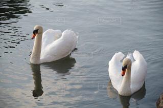 皇居外苑を泳ぐ白鳥のつがいの写真・画像素材[2913470]