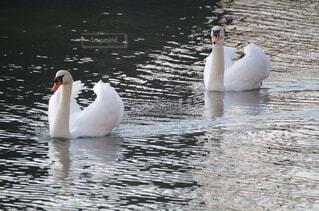 皇居外苑を泳ぐ白鳥のつがいの写真・画像素材[2913472]