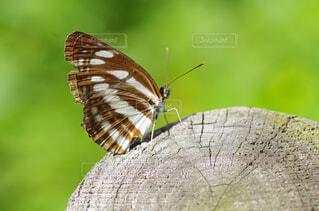 切り株にとまる蝶の写真・画像素材[2913789]