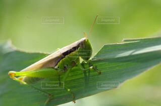 稲の葉を食べるバッタの写真・画像素材[2913786]
