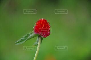 赤い花のクローズアップの写真・画像素材[2913795]