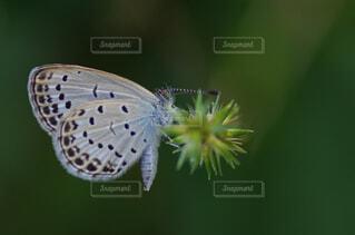 トゲトゲの蜜を吸うチョウの写真・画像素材[2913794]