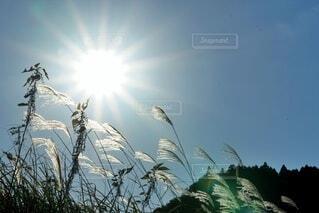 秋晴れのススキ ズームの写真・画像素材[3995630]