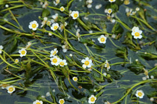 水中花 梅花藻の写真・画像素材[1673390]