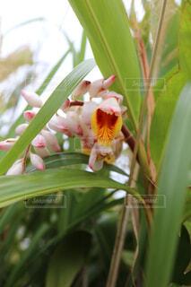 月桃の花 沖縄の写真・画像素材[1673421]