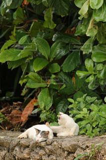 竹富島の猫の写真・画像素材[1676651]
